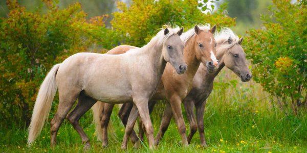 VI Национальный Чемпионат России среди лошадей класса пони